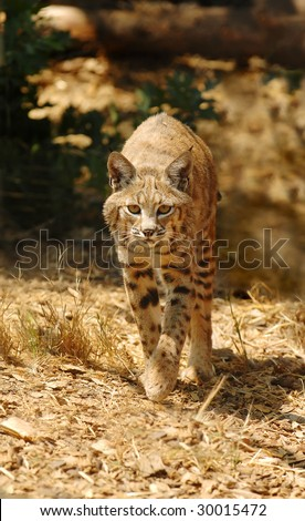A Bobcat (Lynx rufus) approaches