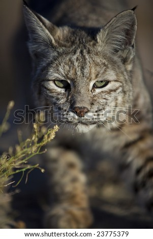 A Bobcat, Lynx rufus, stalks its prey in Joshua Tree National Park, California.