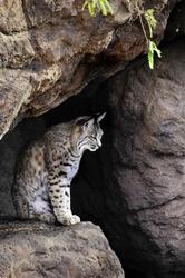 A bobcat sitting in a cave