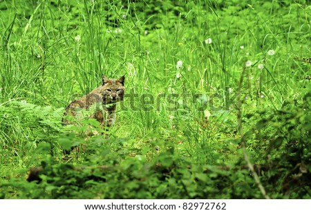 A Bobcat sitting in the tall green grass