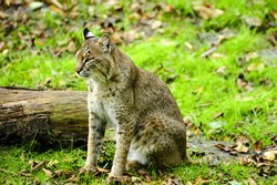 A bobcat sitting next to a log in the green grass.