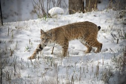 A bobcat stalking prey in Colorado