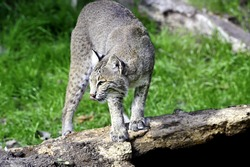 A bobcat standing on a log with his pink tongue out