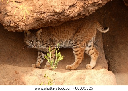 A Bobcat walking along a rocky sandstone ledge.