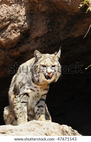 A bobcat with his tongue sticking out