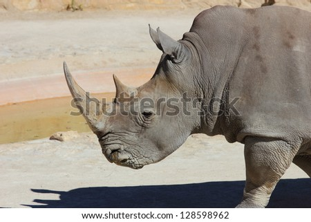 A body and head view of a white rhino, Ceratotherium, simum, walking on the ground - stock photo