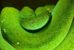 A body of the green tree python Morelia viridis close-up. Tallinn zoo, Estonia. Snake skin, natural texture. Environmental conservation, wildlife, zoology, herpetology theme