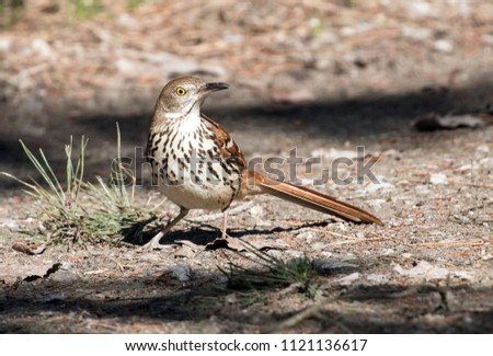 A boldly patterned bird Brown Thrasher sitting on the ground during spring migration Ontario Canada.The scientific name of this mimic songbird is Toxostoma rufum.