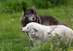 A bonded pair of captive wolves in a green grass field.
