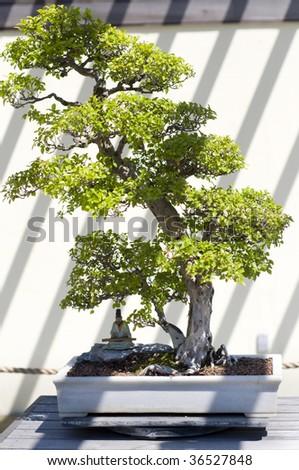 A bonsai miniature tree on display at the National Arboretum in Washington, DC.