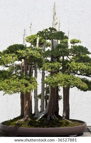 A bonsai miniature tree on display at the National Arboretum in Washington, DC.