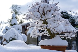 A bonsai tree covered with fresh snow on a garden table in Zoetermeer