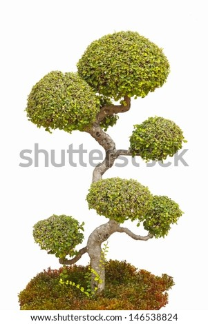 A bonsai tree in isolated on a white background.