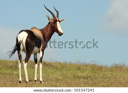 A Bontebok / Blesbuck poses during a safari in South Africa