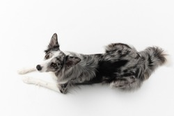 A Border Collie dog is lying on a white background. Top view. The dog is colored in shades of white and black and has long and delicate hair. An excellent herding dog. Panoramic frame.