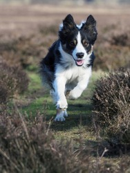 A border collie dog runs through the heather.