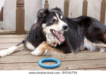 A border collie laying in the garden with his toy