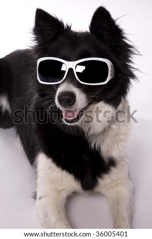 A Border Collie looking cool in her sunglasses. - stock photo