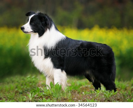 a Border Collie stand on grass
