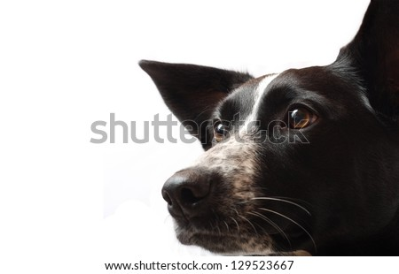 A Border Collie Staring Intensely #129523667