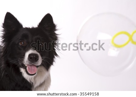 A Border Collie who loves to watch bubbles.
