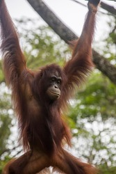 a Bornean orangutan is hanging on rope. The orangutan is a critically endangered species, with deforestation, palm oil plantations, and hunting posing a serious threat to its continued existence
