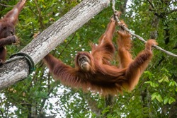 a Bornean orangutan is hanging on rope The orangutan is a critically endangered species, with deforestation, palm oil plantations, and hunting posing a serious threat to its continued existence