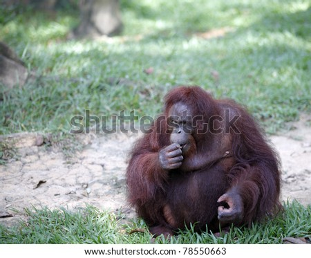 A Bornean Orangutan which is scientifically known as Pongo pygmaeus resting in a green habitat.