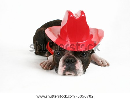 a boston terrier dressed as a cowboy