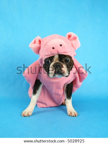 a boston terrier in a pig costume