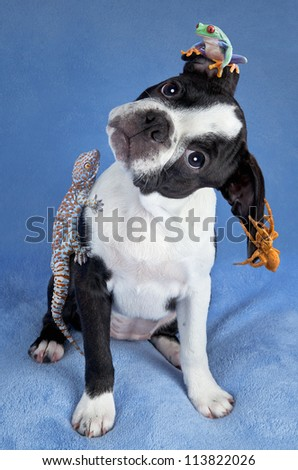 A Boston terrier puppy has a frog, gecko, and tarantula sitting on her.