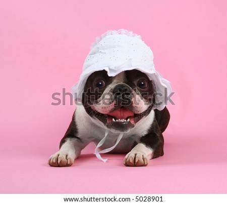 a boston terrier with a baby bonnet on