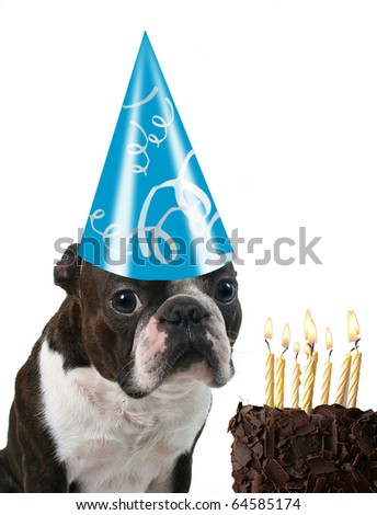 a boston terrier with a birthday hat on