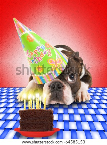 a boston terrier with a cake