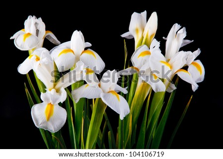 a bouquet of irises on a black background