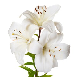 A bouquet of light lilies isolated on white background.