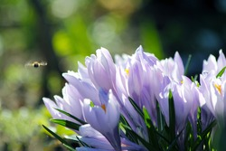A bouquet of soft purple crocuses on the background of spring greenery with a small bee. Primroses.