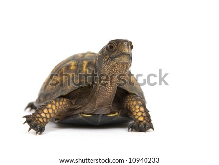 A box turtle makes its way across a white background