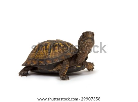 A box turtle walks on a white background