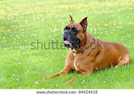a boxer dog lying in the grass