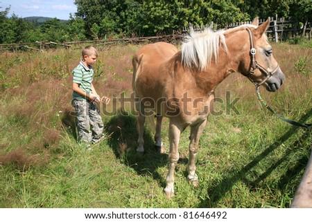 A boy cleans a horse - Haflinger