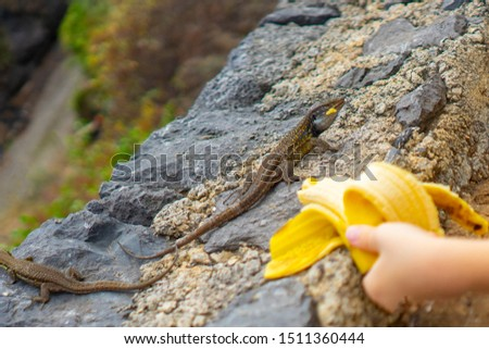 A boy feeds wild lizards with a banana