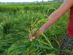A boy holding Ears of rice . Paddy, Organic Agriculture, Ears Of Rice In The Field. grain in paddy field concept. close up of  green rice field. Paddy farming in India