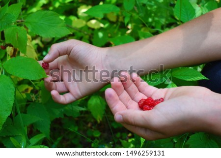 A boy picks raspberries in the garden. picking wild berries in the fall. Healthy Nutrition Concept