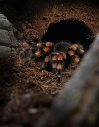 A Brachypelma smithi spider on land in its natural habitat