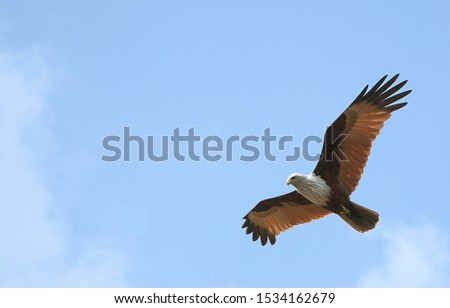A brahminy kite (haliastur indus) in the Sundarban Forest. This bird is pictured in the Sundarbans in southern Bangladesh. Brahminy kite in Bangladesh.