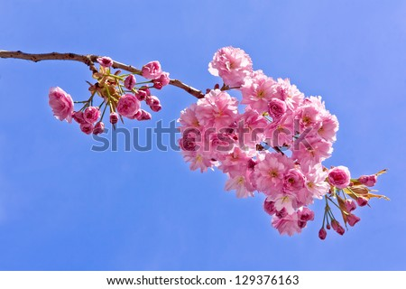 A branch of a cherry. Spring landscape. Close-up.