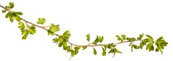 A branch of a currant bush with young green leaves. Isolated on white background
