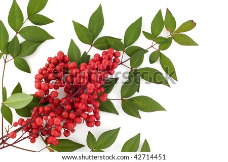 Red berries on the tree green bush with clusters of red berries hd