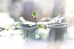 A branch of a tree with blossoming buds. Small green leaves, a tree with thorns.
